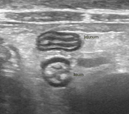 Ultrasonography of the canine and feline caecum (or cecum ...